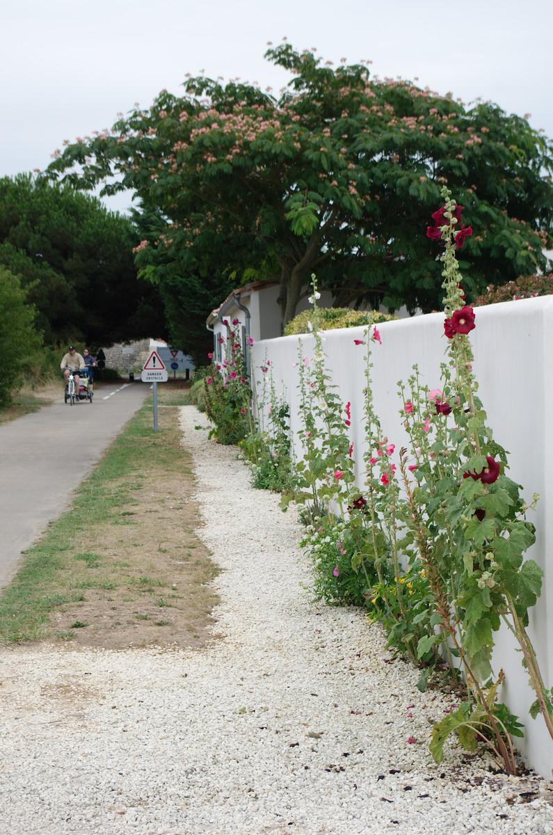 L'île de Ré : roses trémières et pistes cyclables